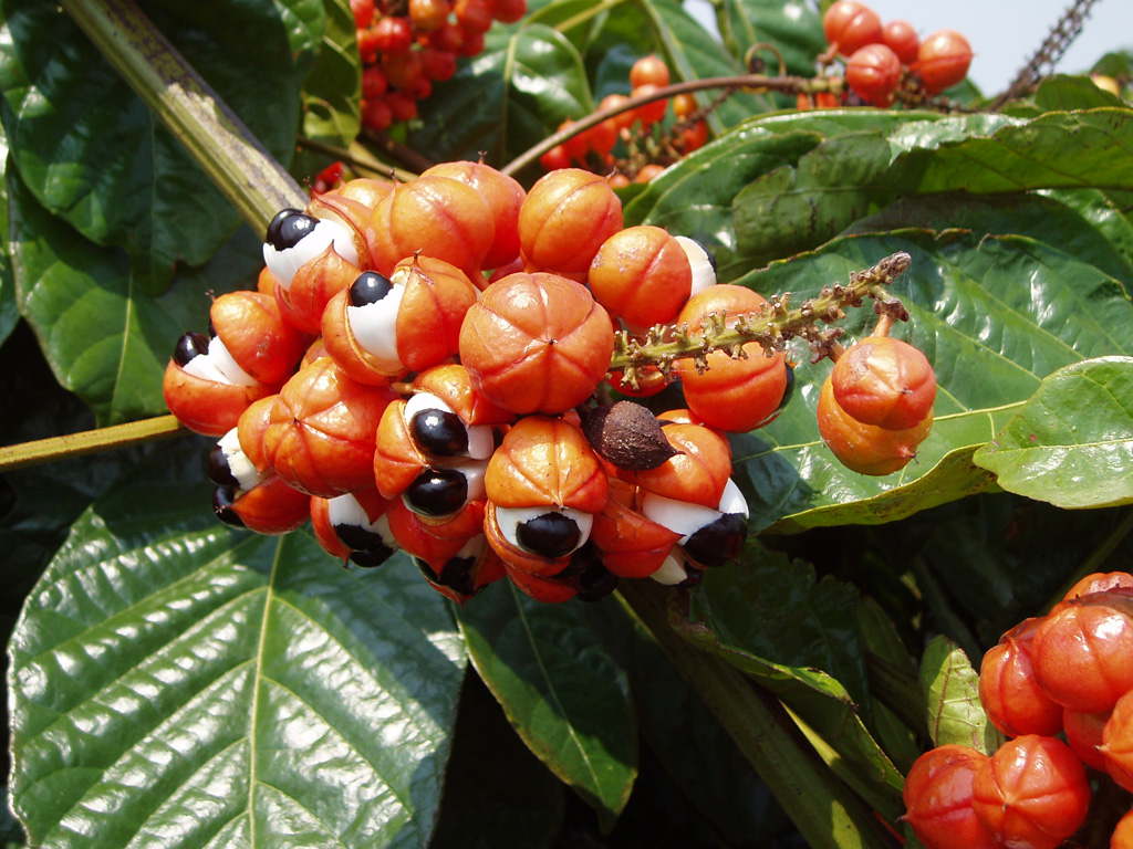 Guarana is a natural energy booster