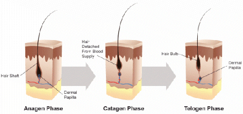 hair follicle cycle diagram