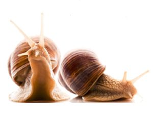snail secretion filtrate - a natural skincare ingredient